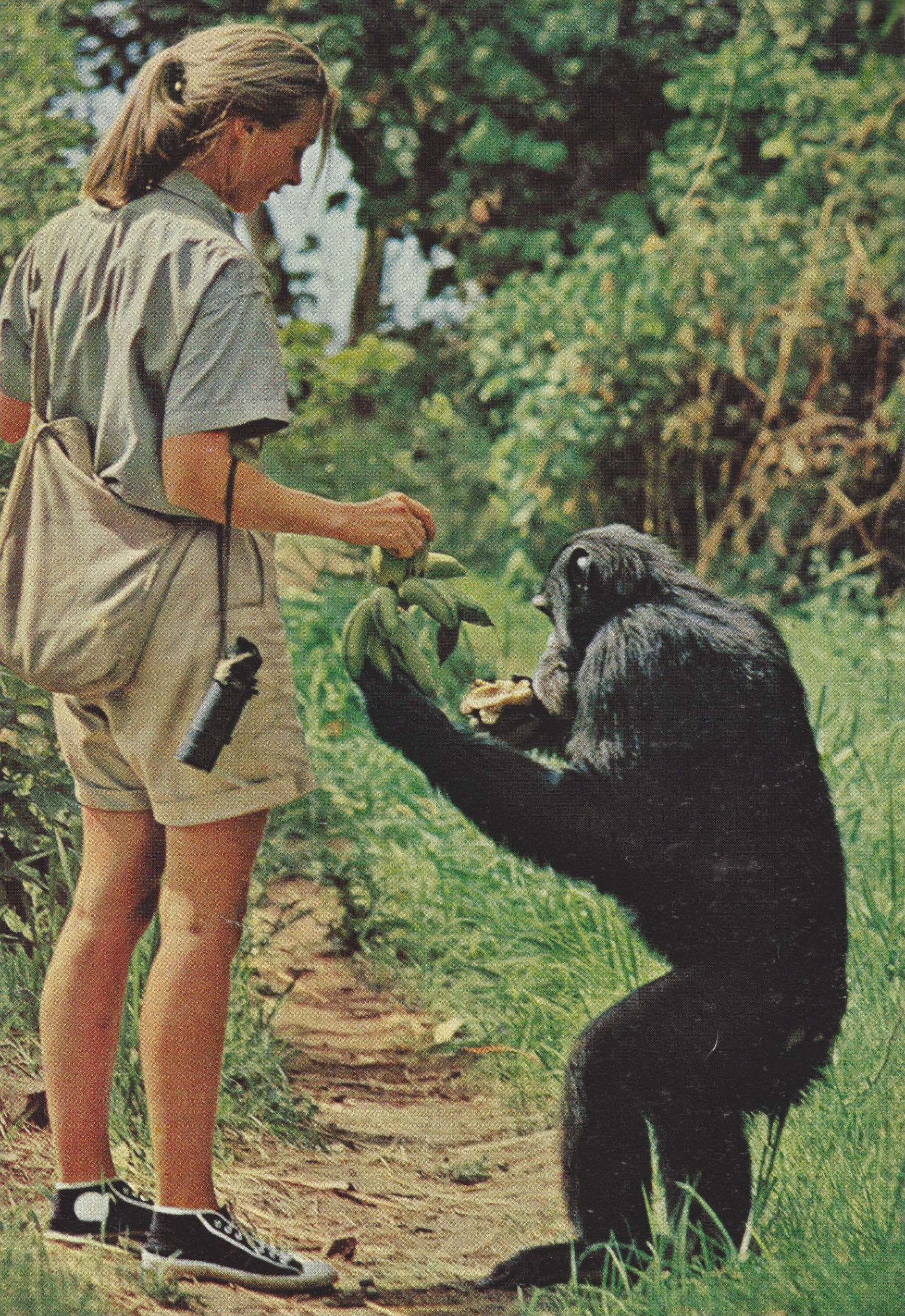 The caption for this photo by Baron Hugo van Lawick Jane walks along with chimp, David Graybeard. Noted is that she carries a whistle in her pocket to summon searchers in case of accident.